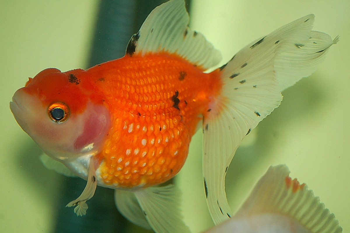 Pearlscale Goldfish With Head Growth