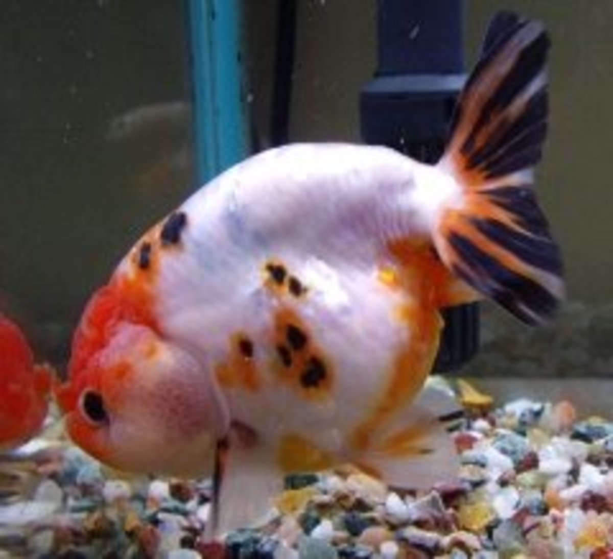 Goldfish Varieties: A Brief Look at Some of the Many Types ...