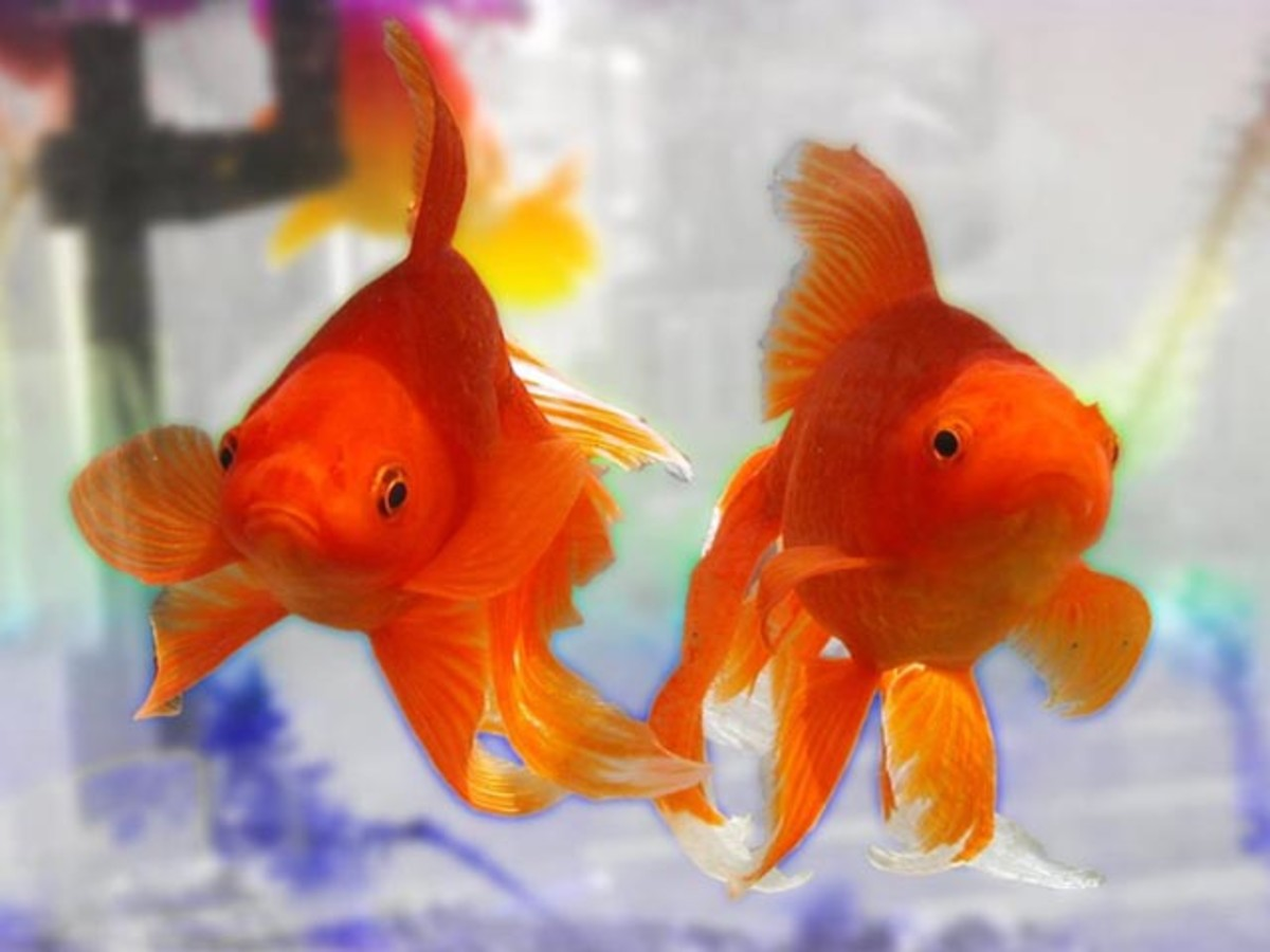 goldfish_varieties