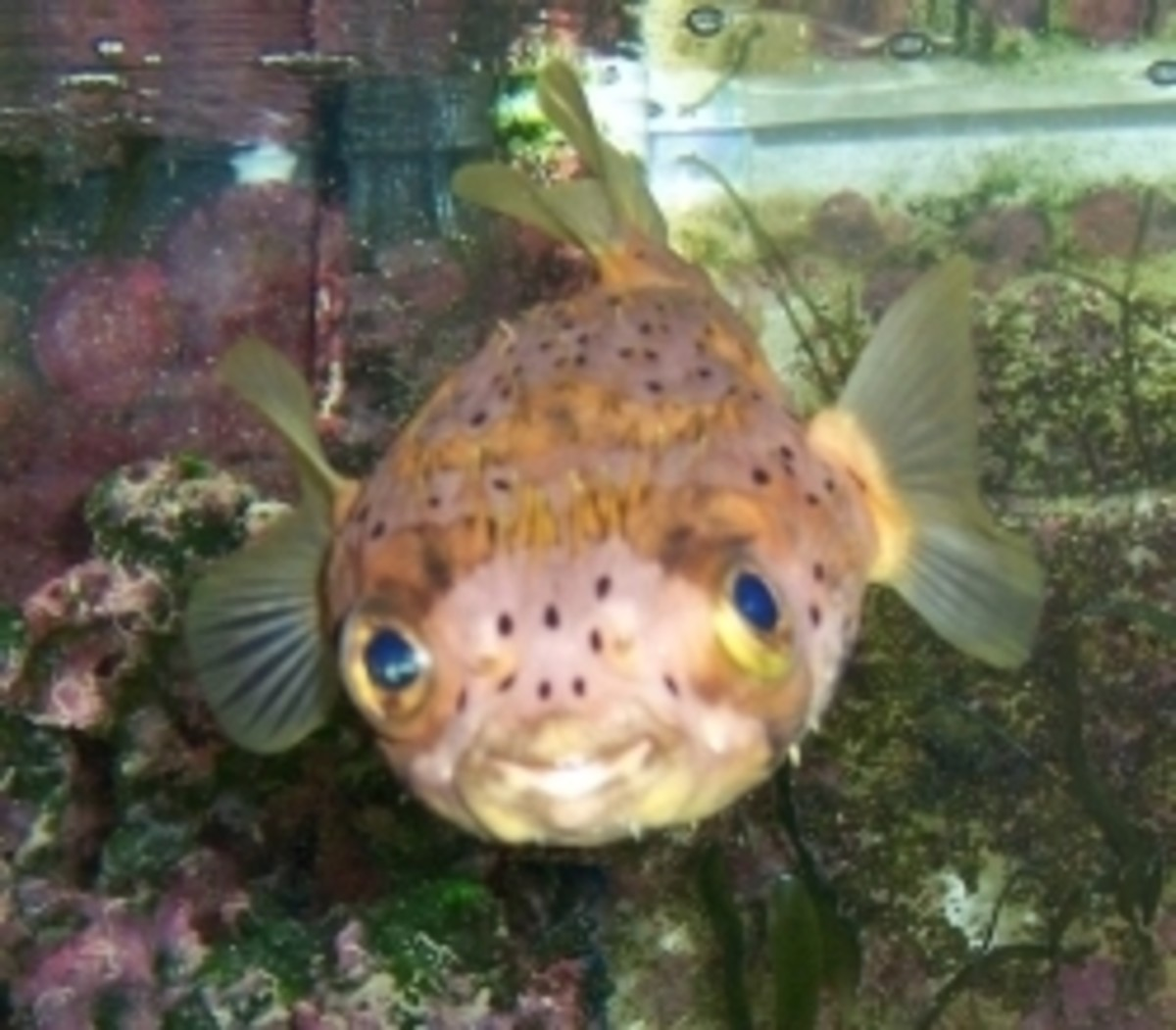 Porky, the porcupine puffer fish smiles for the camera.