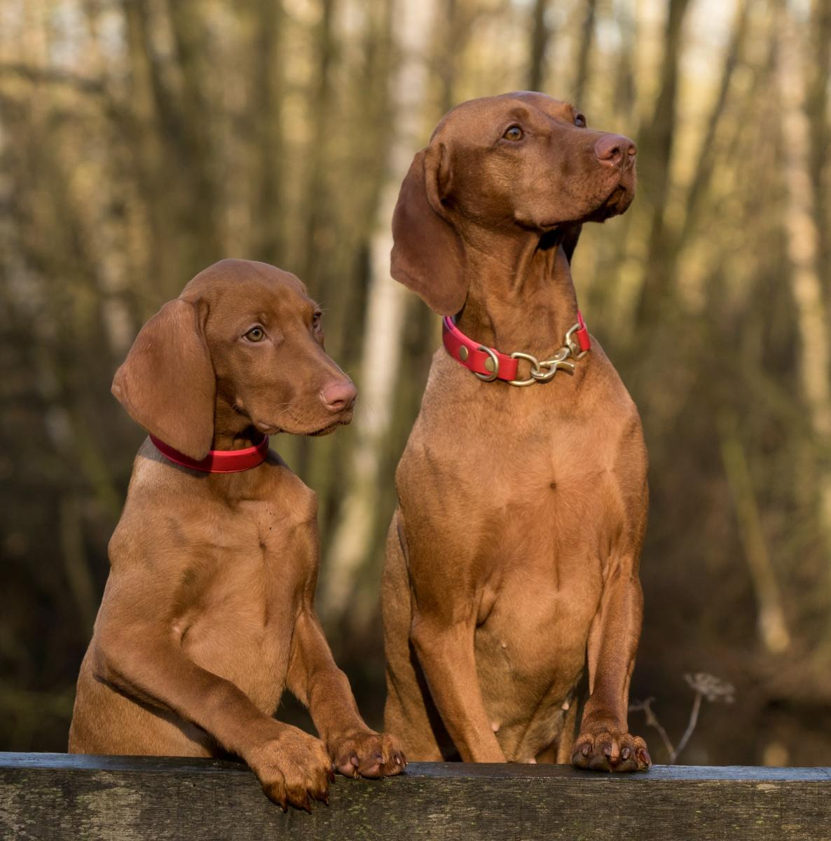 double-dog-dare-why-two-dogs-can-be-better-than-one