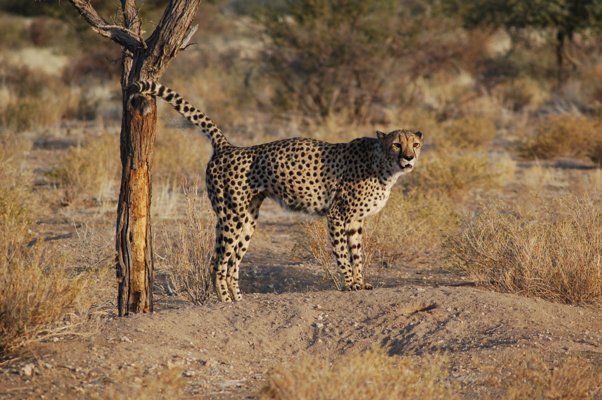 A wild cheetah marks a tree in his territory.