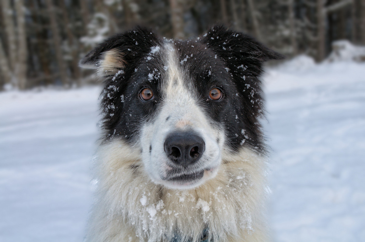 Border collie showing off its personality.