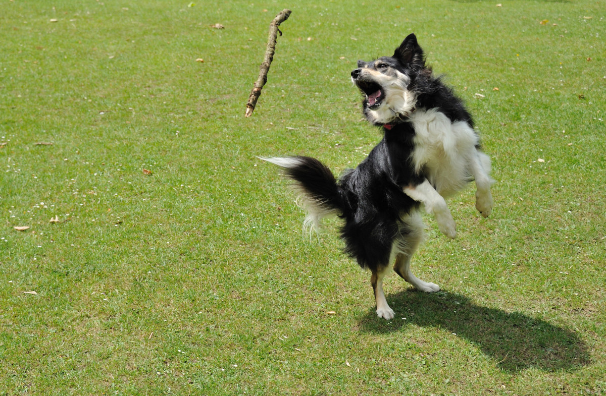 Jasper the border collie leaping in the air catching a stick.