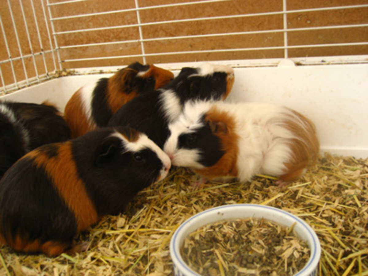 Guinea Pig Care - A Beginners Guide On Caring For A Guinea Pig  Pethelpful-2139