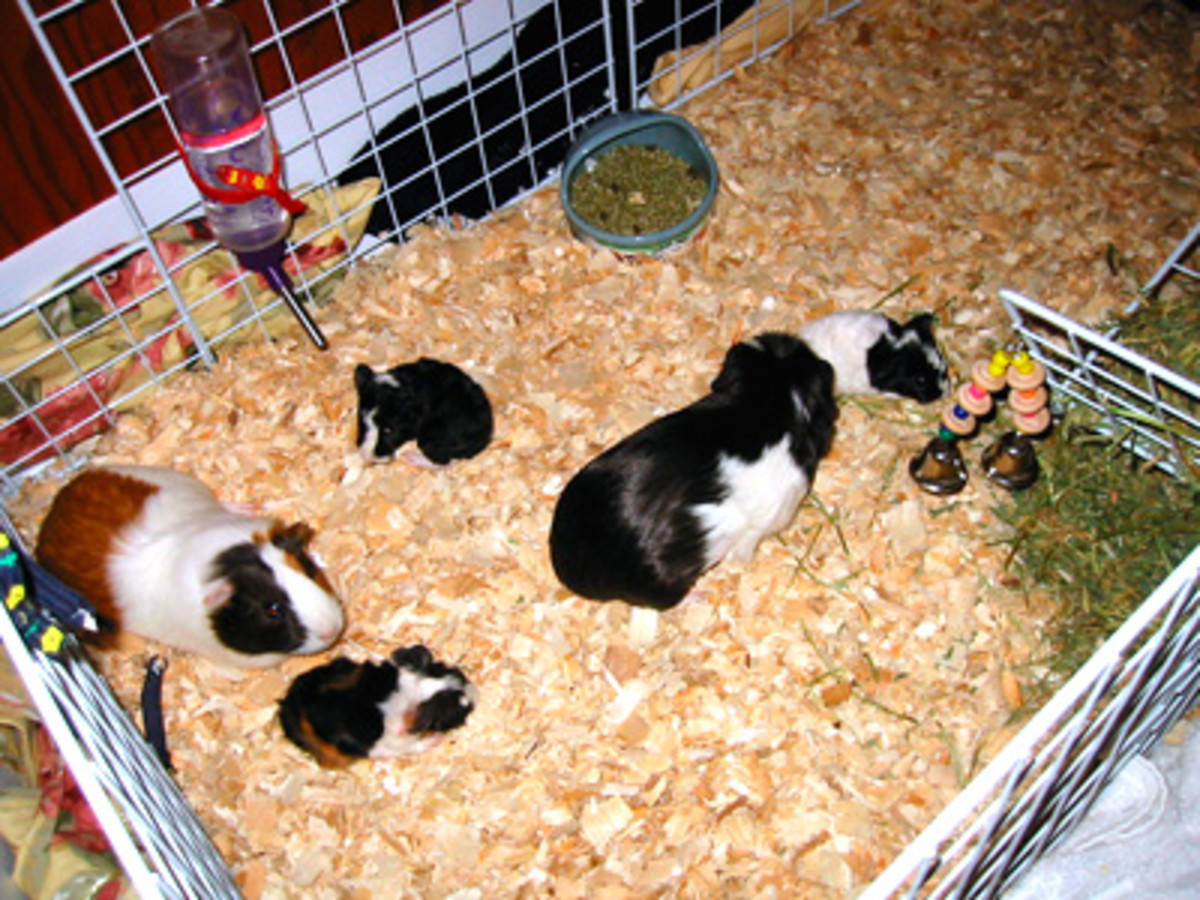 Sawdust is a great floor covering, good for guinea pig's feet. It's also very absorbent.