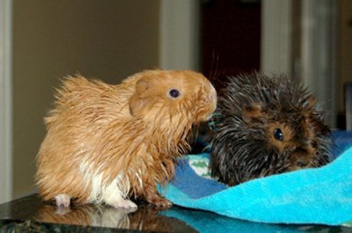 Guinea pigs after bathing!