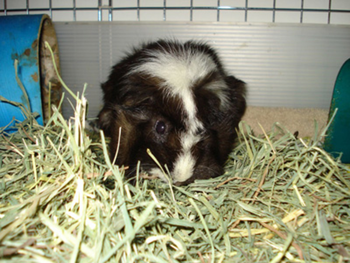Keep guinea pigs suffering from pneumonia warm and dry.