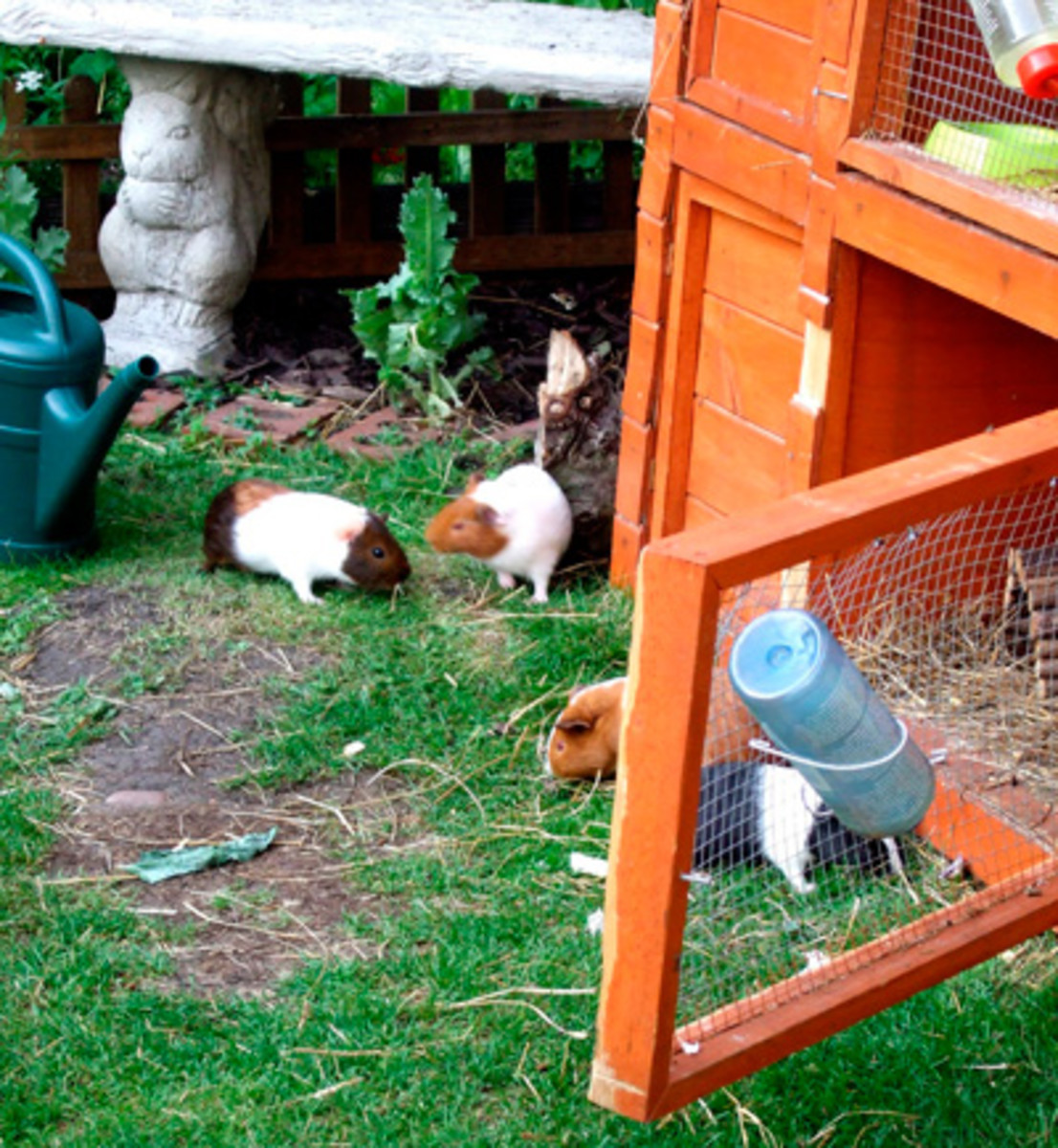 This outdoor guinea pig cage combines a shelter hutch with a grassy area for grazing.