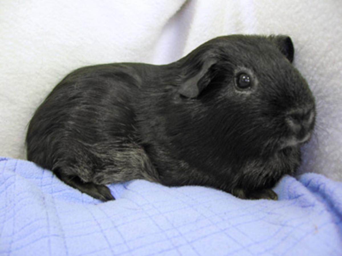A self-black guinea pig.