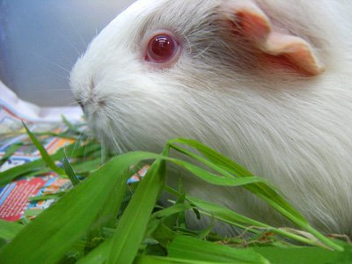 Albino guinea pigs have red eyes and white hair.