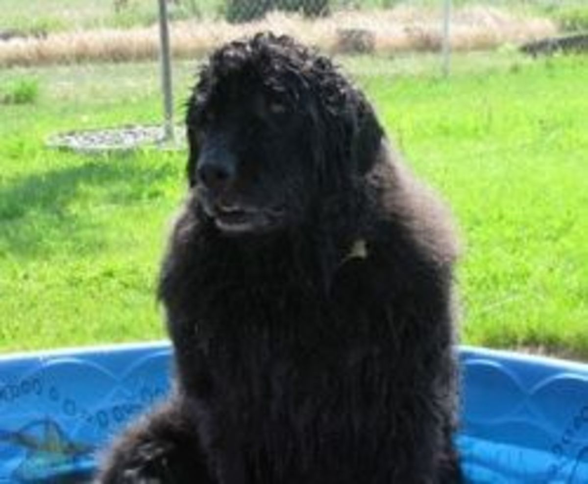 Caring for your Older Newfoundland Dog