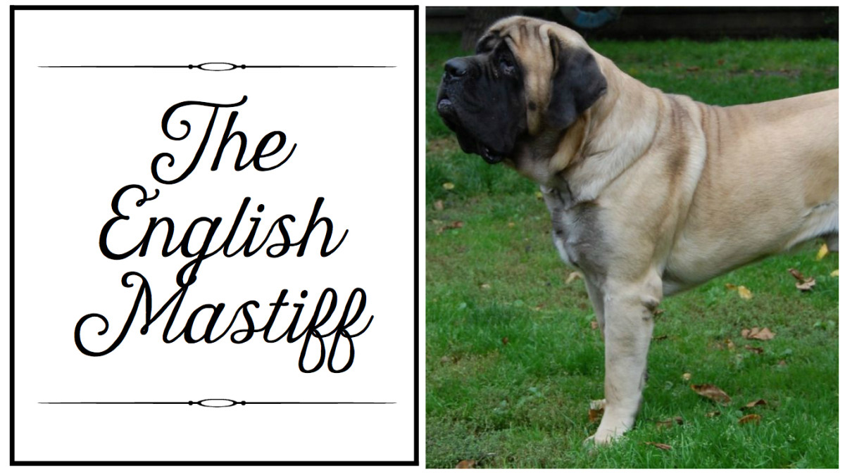mastiff-breeds