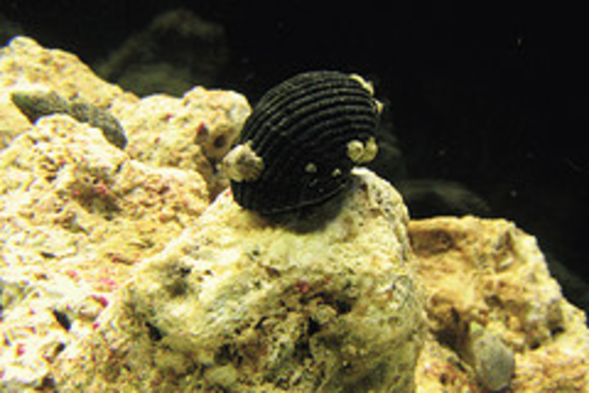 freshwater-aquatic-snails-species-overview