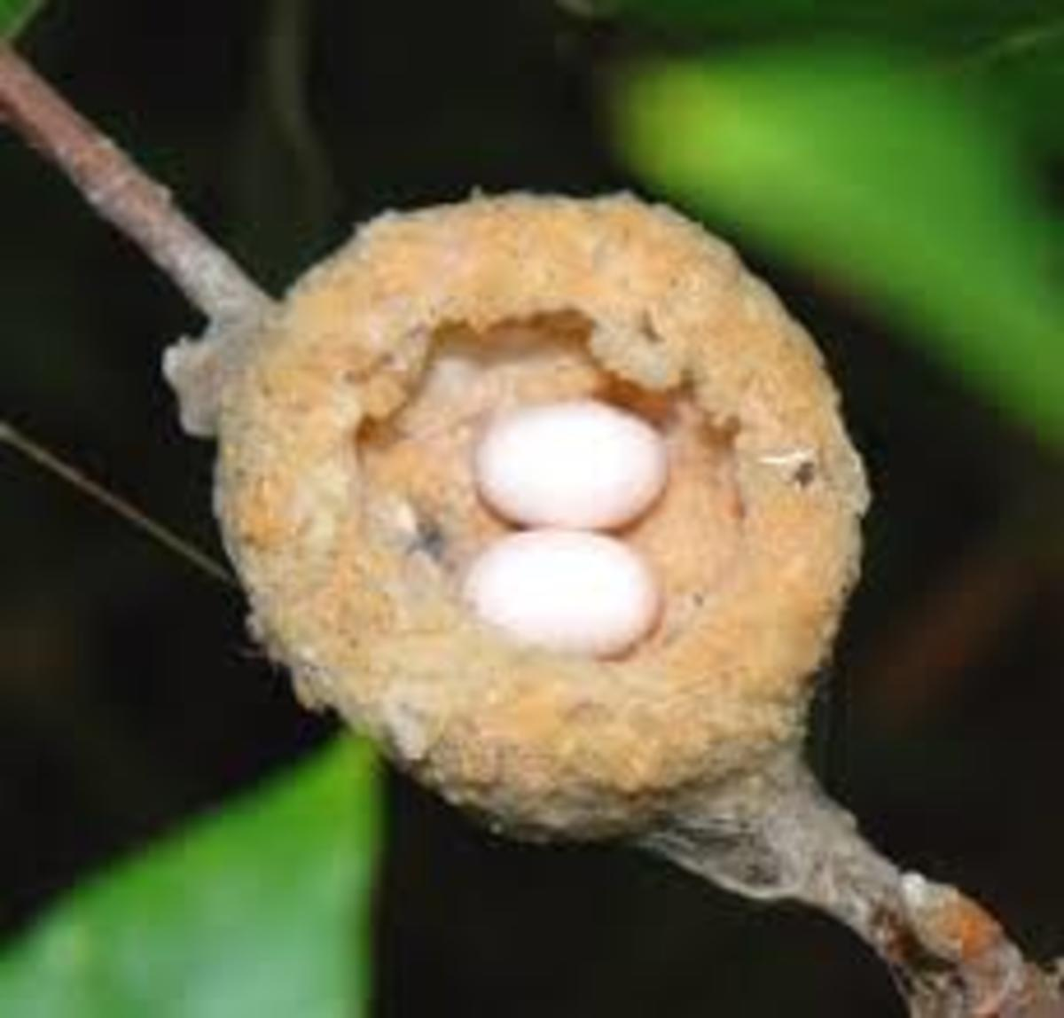 Hummingbird nest—a downy little cup with its clutch of two jelly bean sized eggs.