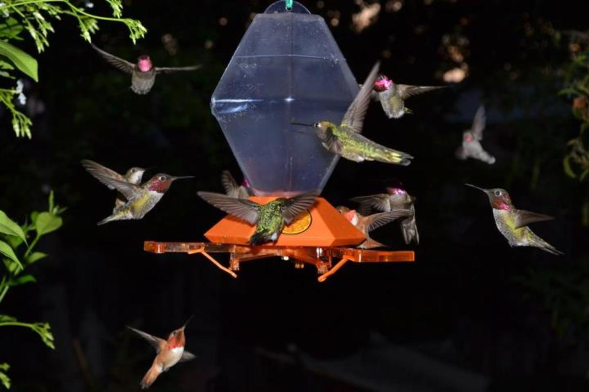 A hummingbird feeding frenzy on the patio at dusk.