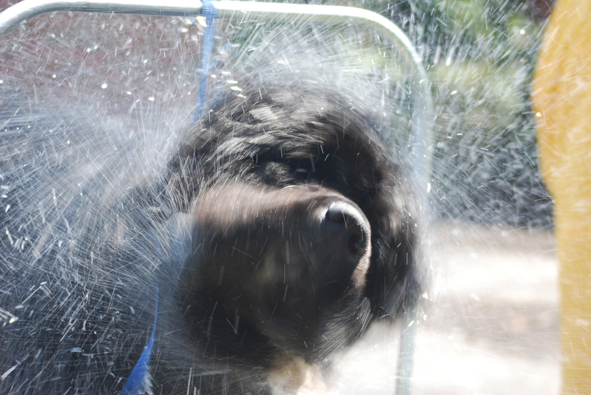 It's a good idea to let your dog take a few good shakes after a bath; this helps in the drying process.