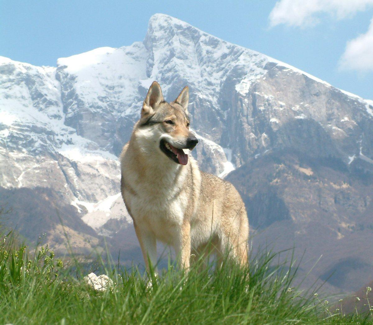 A Gorgeous Wolfdog