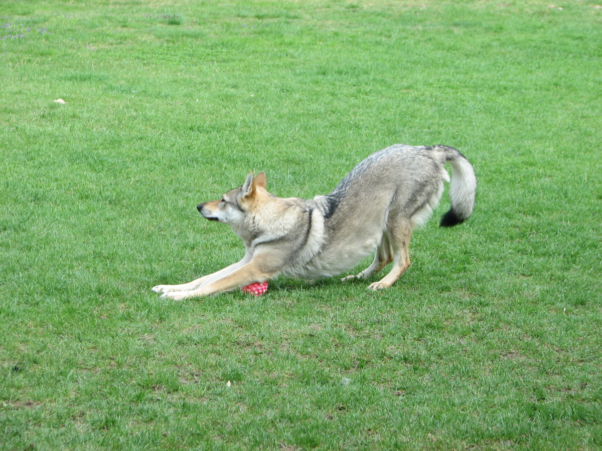 A Wolfdog Stretching