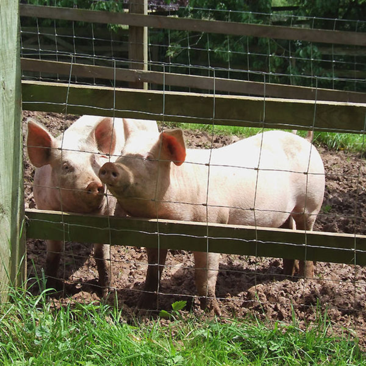 Young pigs with plenty of space and fresh air will require less vet care, have less fat, and be an overall superior quality.