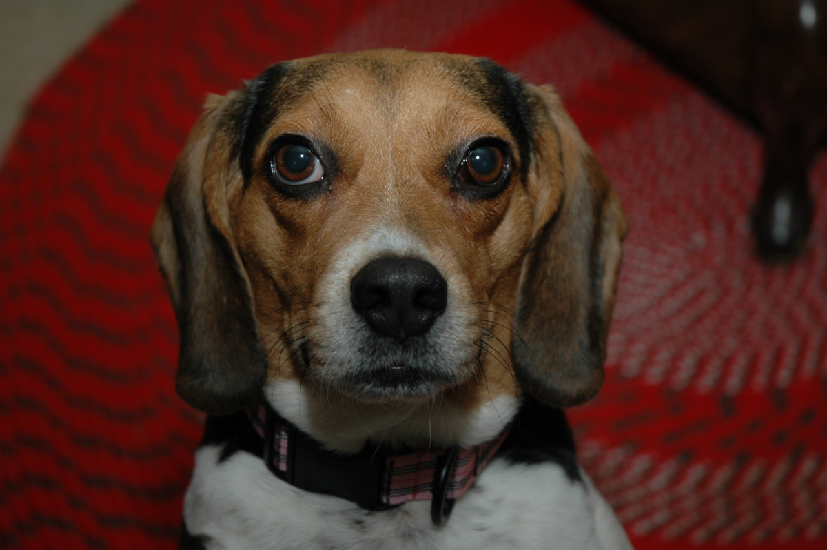 Sadie the Beagle. Alive and well after chewing on an electrical cord.
