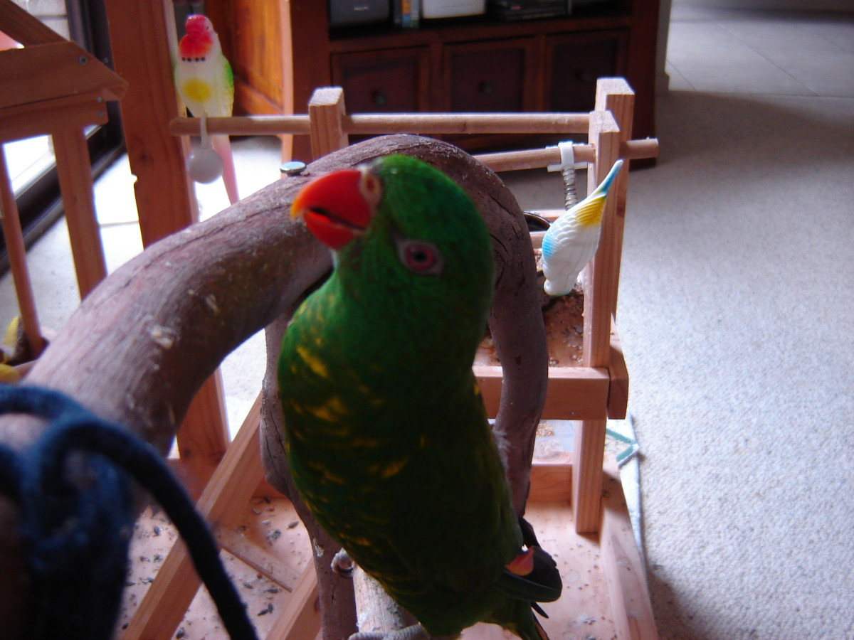 Artie on the bird gym.