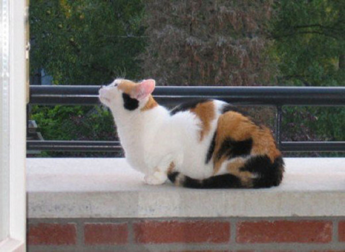 Typical calico cat with bright color patches.