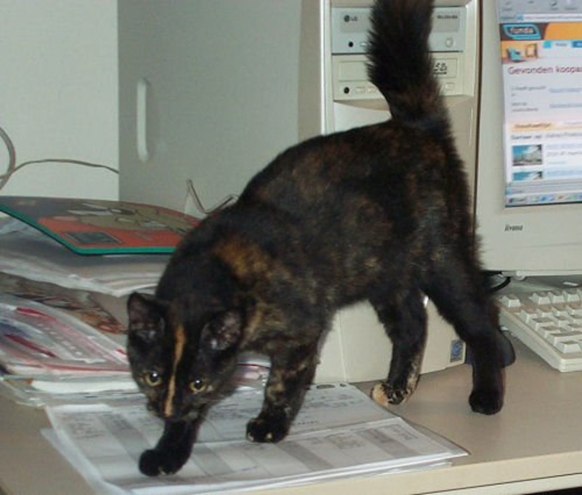 A tortie cat named Chewy.