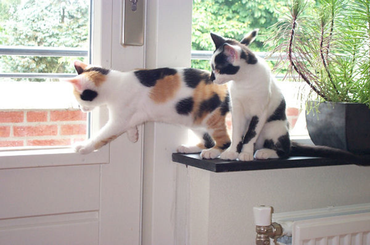 The cat on the left is a Calico Cat