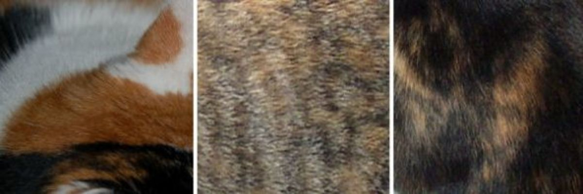 The color patterns of tortoiseshell and callico cats