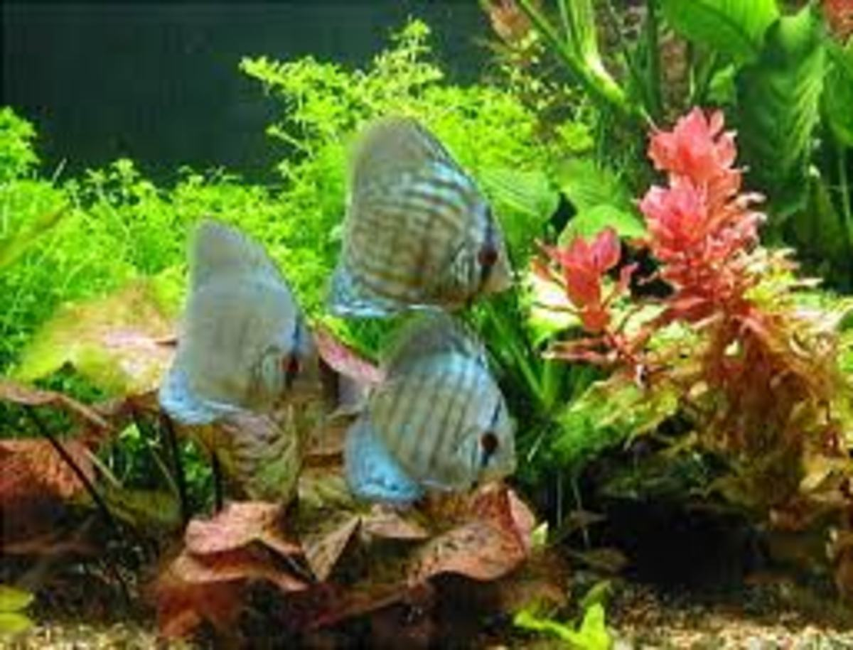 Creating a natural amazon river themed aquarium pethelpful for Natural fish tank
