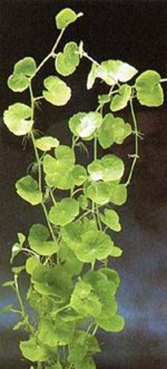 Brasilian Water Ivy