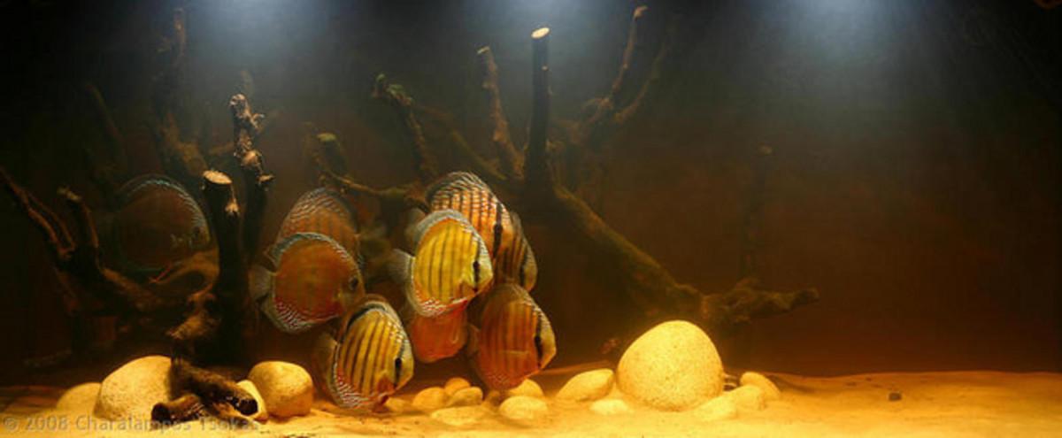 Peat-filtered aquariums replicate the natural habitat of neon and cardinal tetras.