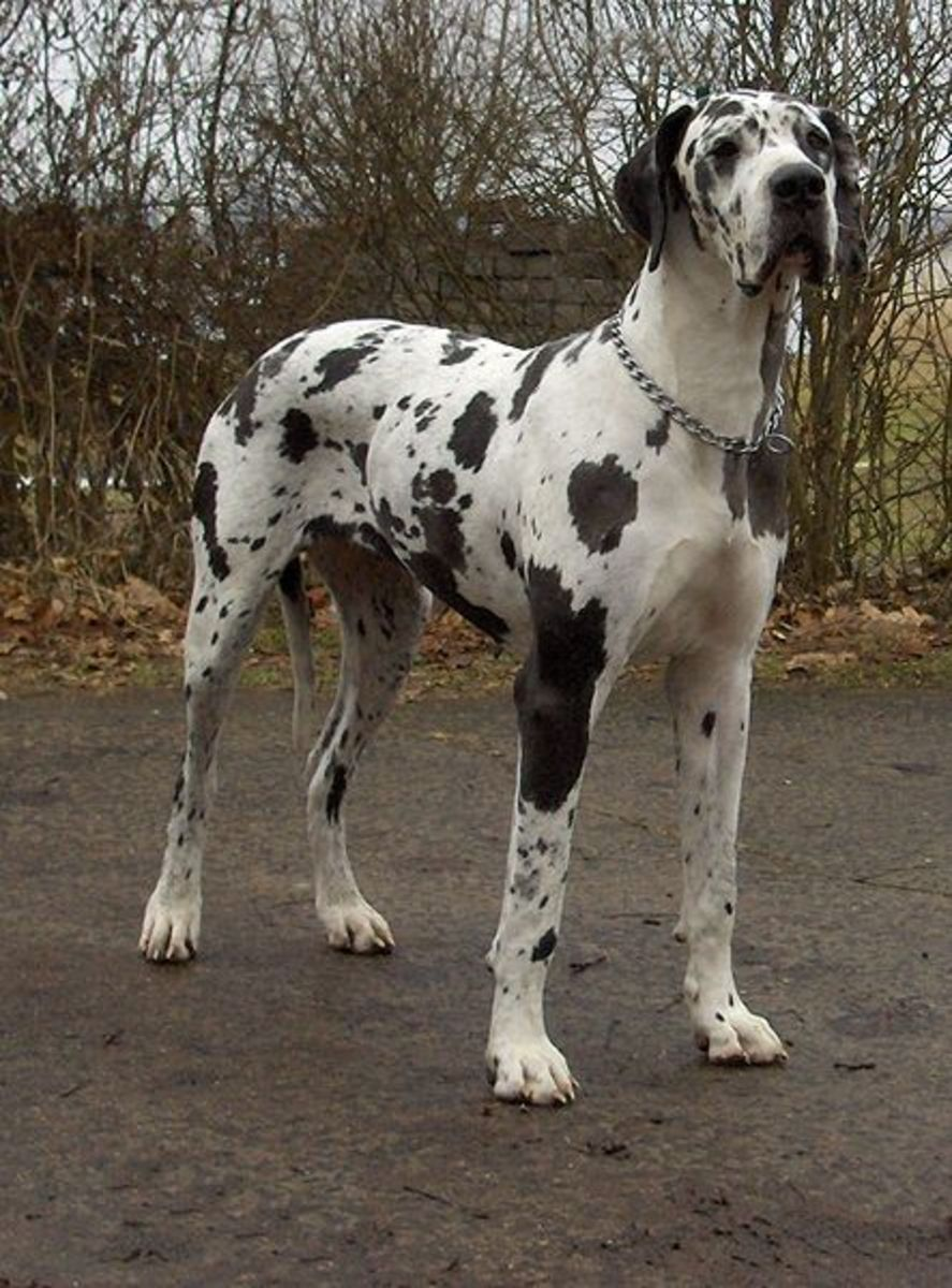 110-180 pounds Great Dane - weighing in at 90-120 pounds Wolf Hybrid