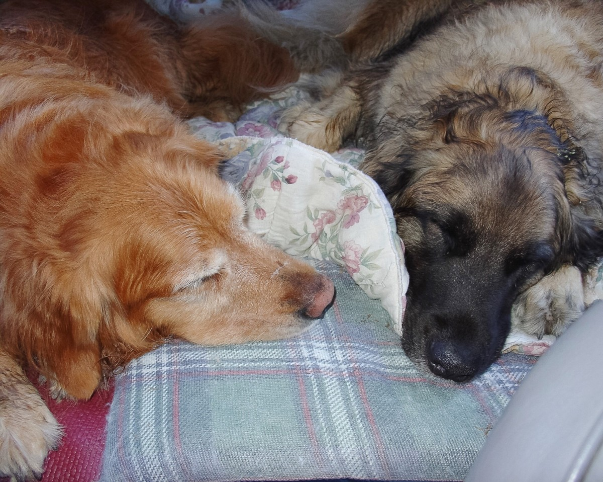 Sam and Scala sleeping in the car after a long and enjoyable hike