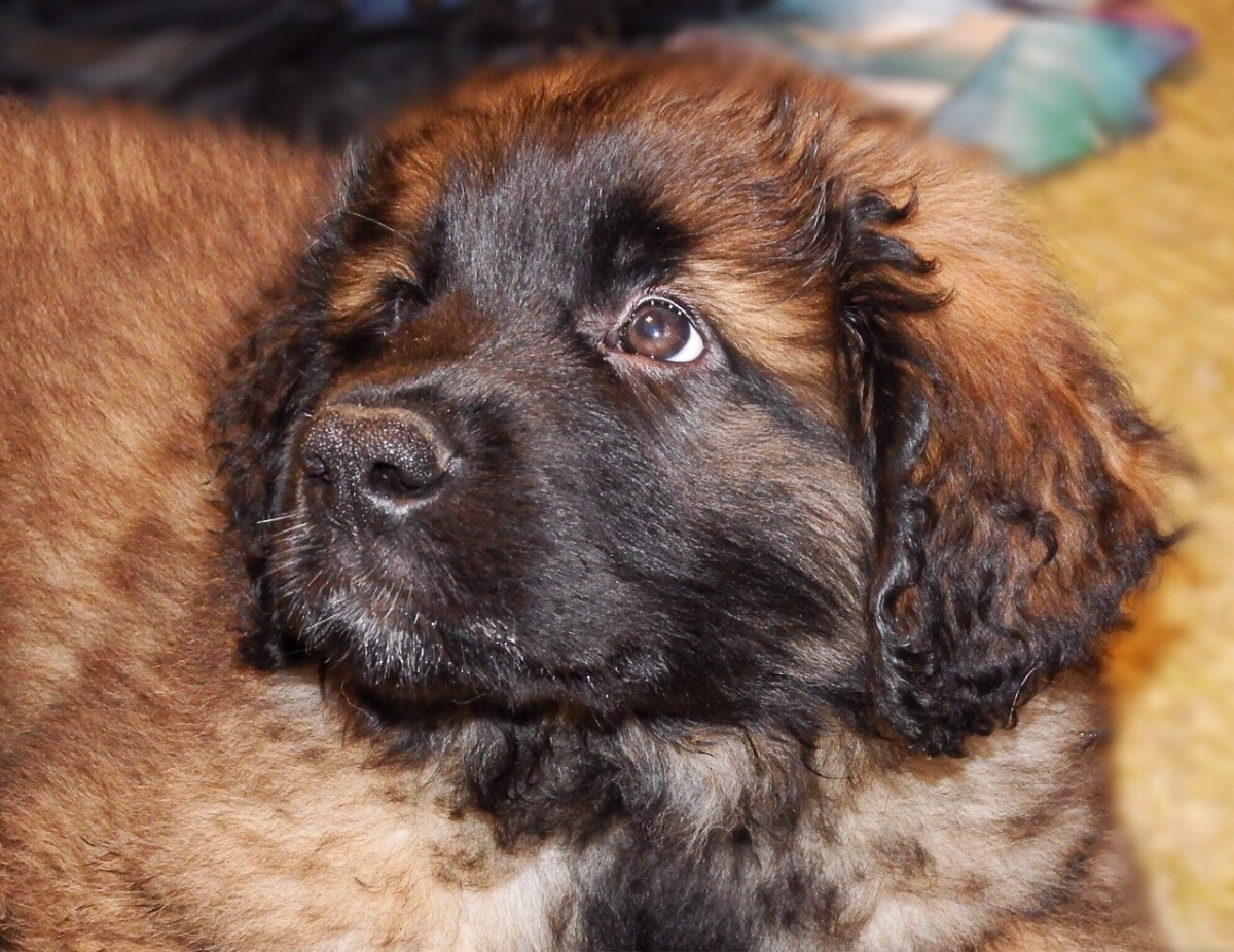 Dylan is our Leonberger. In this picture he's a puppy.