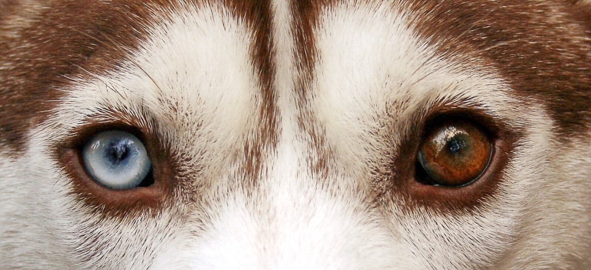 A Siberian husky with heterochromia (eyes of two different colors)