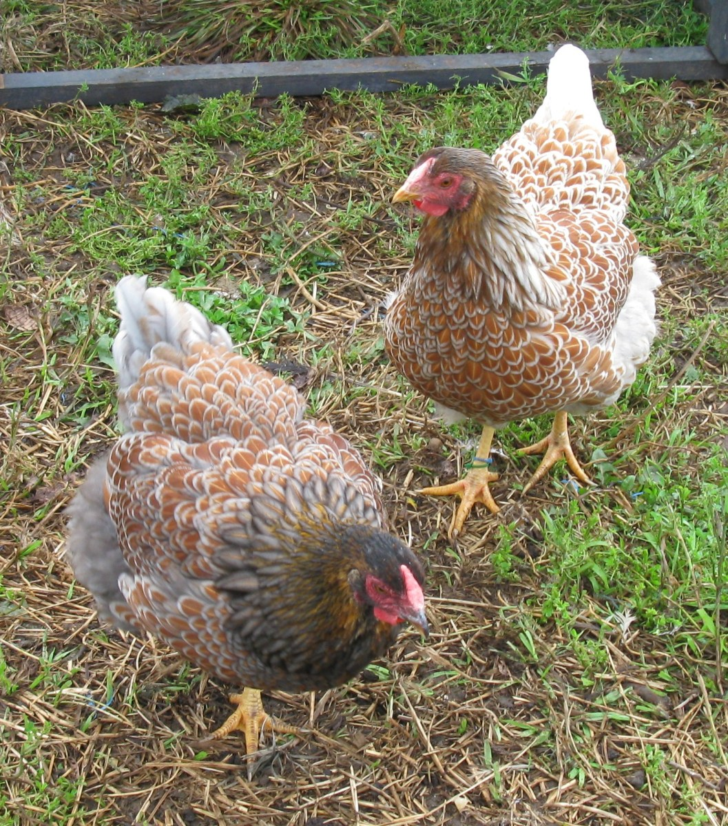 Blue Splash and Blue Laced Red Wyandotte pullets
