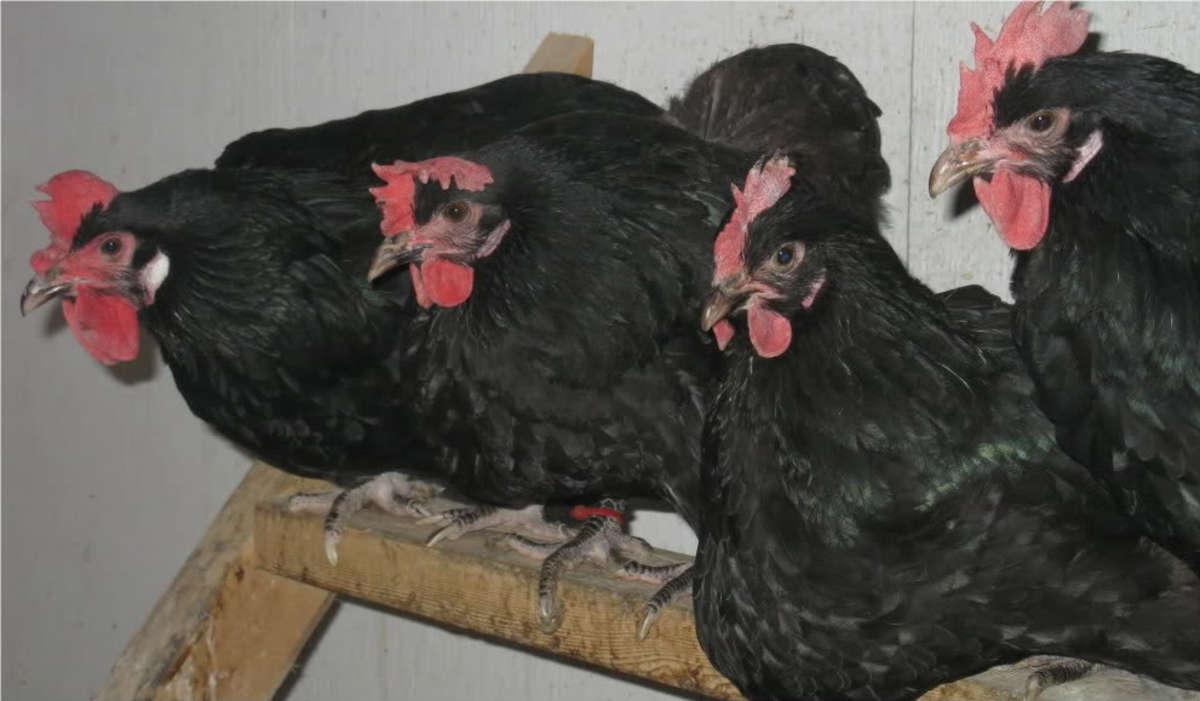 Heavy Black Penedesenca Pullets