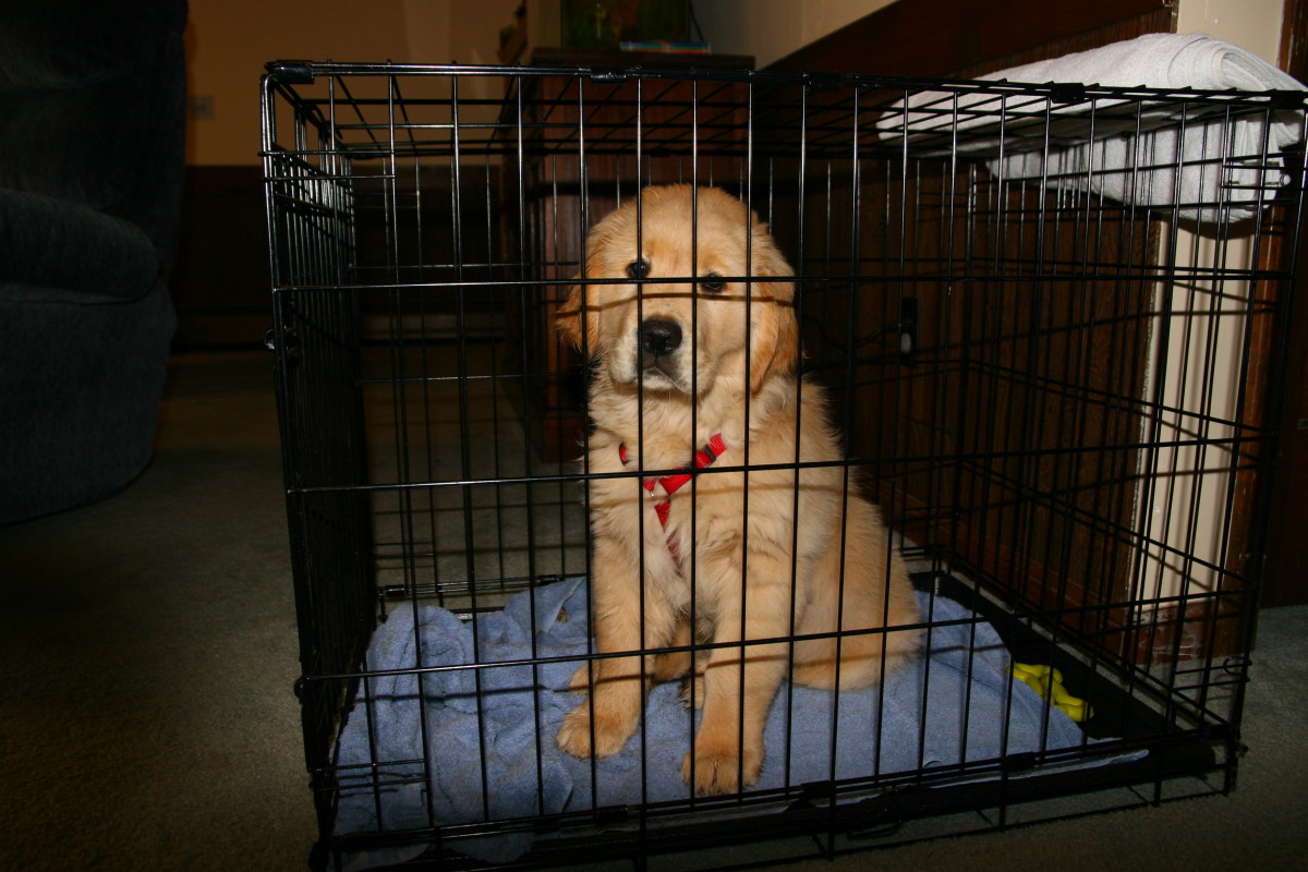 A Golden Retriever puppy sits in his crate: puppies have limited bladder control, and cannot be left in crates for extended periods of time.