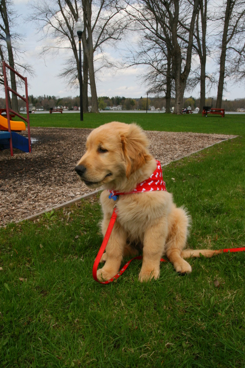 A happy, well trained Golden Retriever puppy. Fully housebroken by 13 weeks of age.