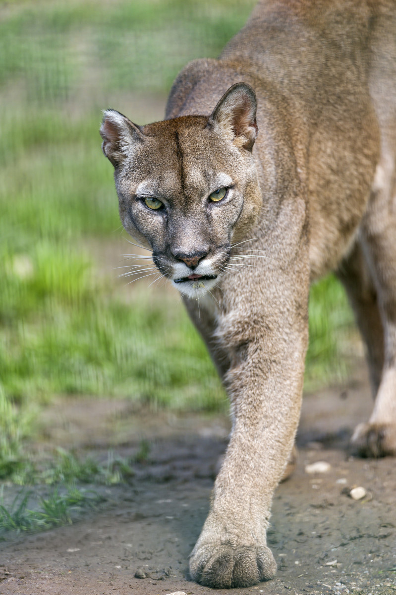 Cougars are not legal to own in all states.