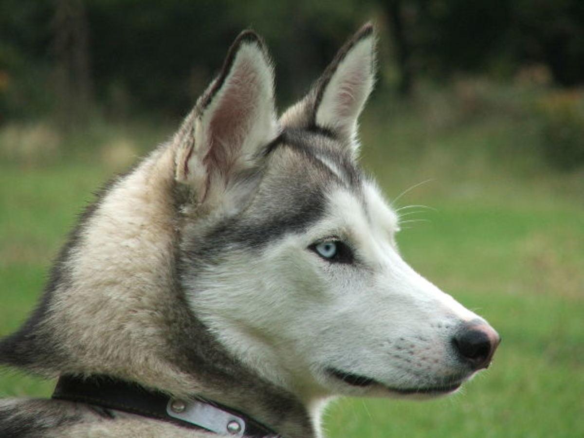 A pretty, blue-eyed husky.