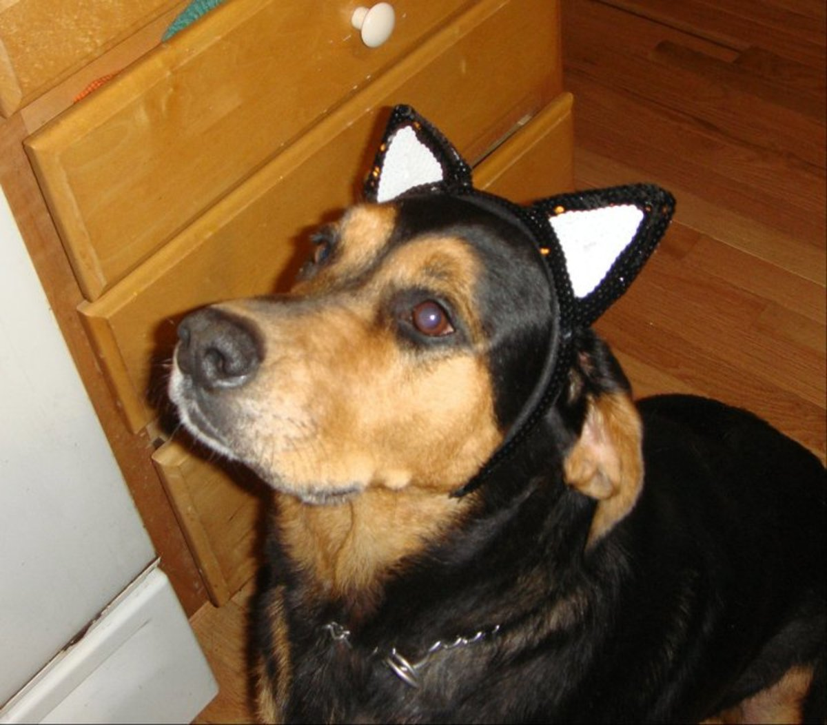 My Austrian black and tan hound, Maggie, who is the inspiration for this article. Clearly she's about to get a treat.