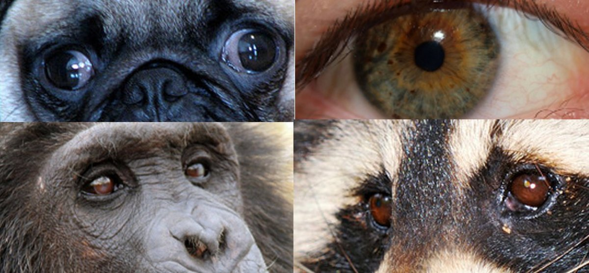 The eyes on the top belong to a dog and a human, whereas the ones on the bottom are the eyes of a chimpanzee and a raccoon.  Notice how the whites are very visible on the top set of eyes, and practically non-existent in the bottom set.