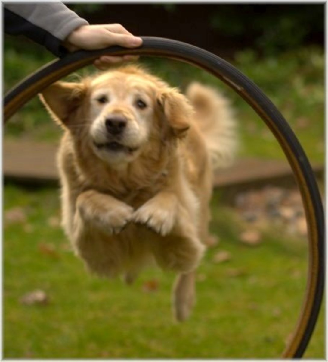 Your Golden Retriever will jump through hoops to please you!