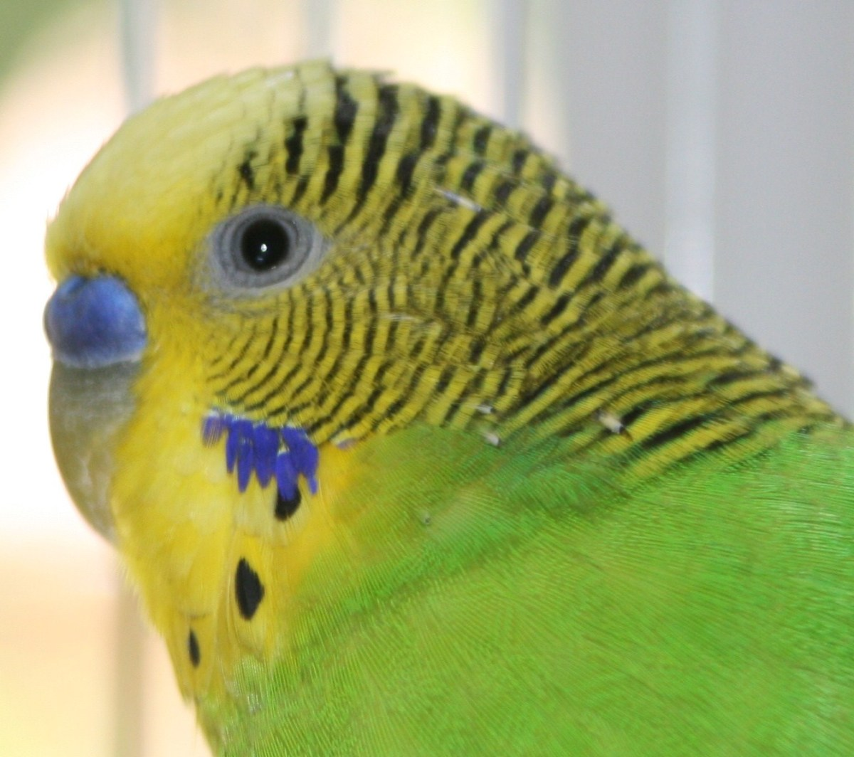 tips-for-caring-for-your-first-pet-budgie-parakeet