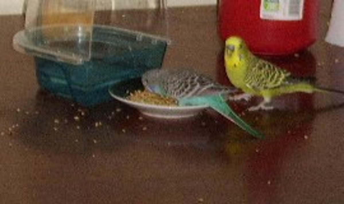 Yummy! But what are these two budgies eating?