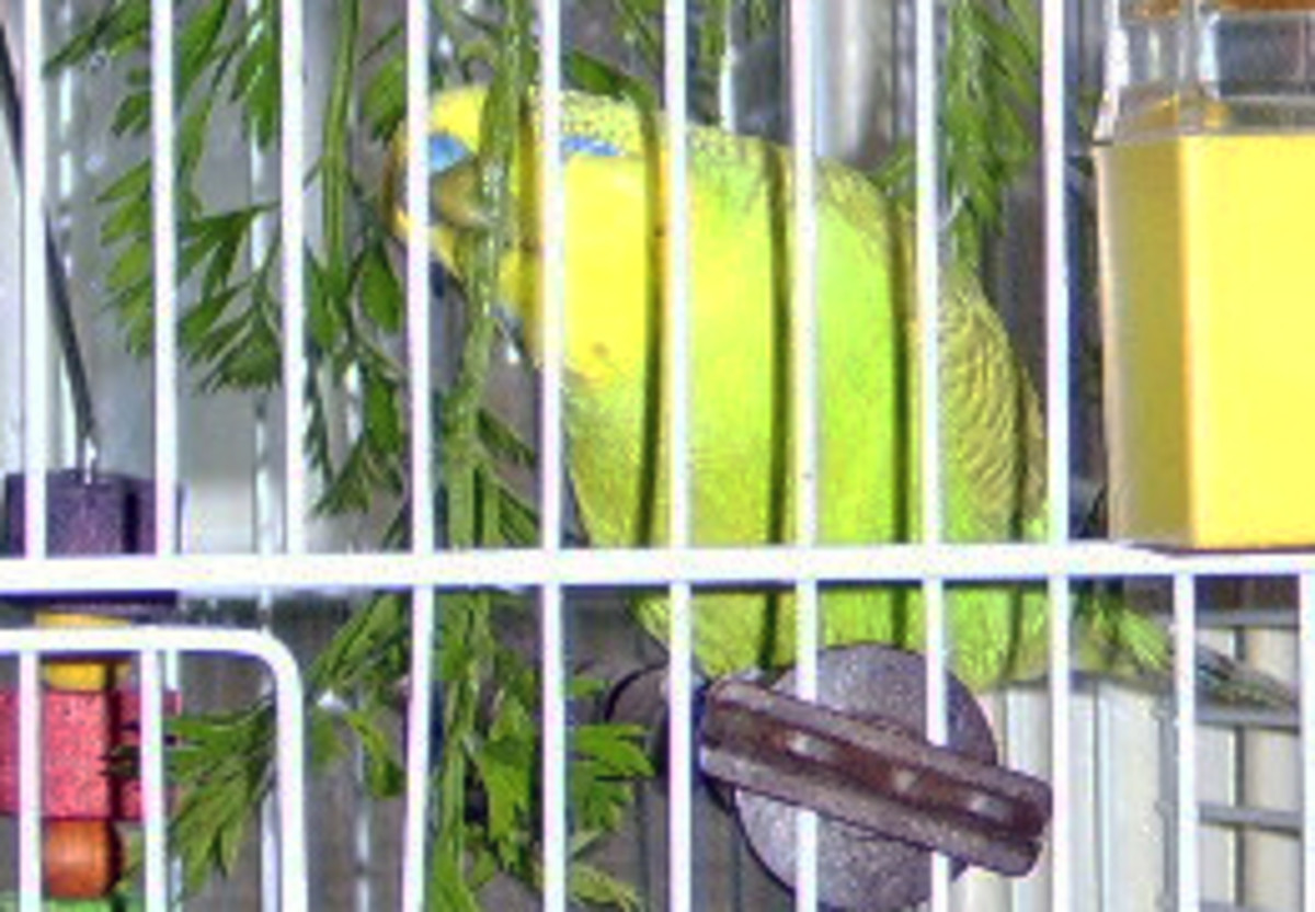 A budgie enjoying a healthy nibble
