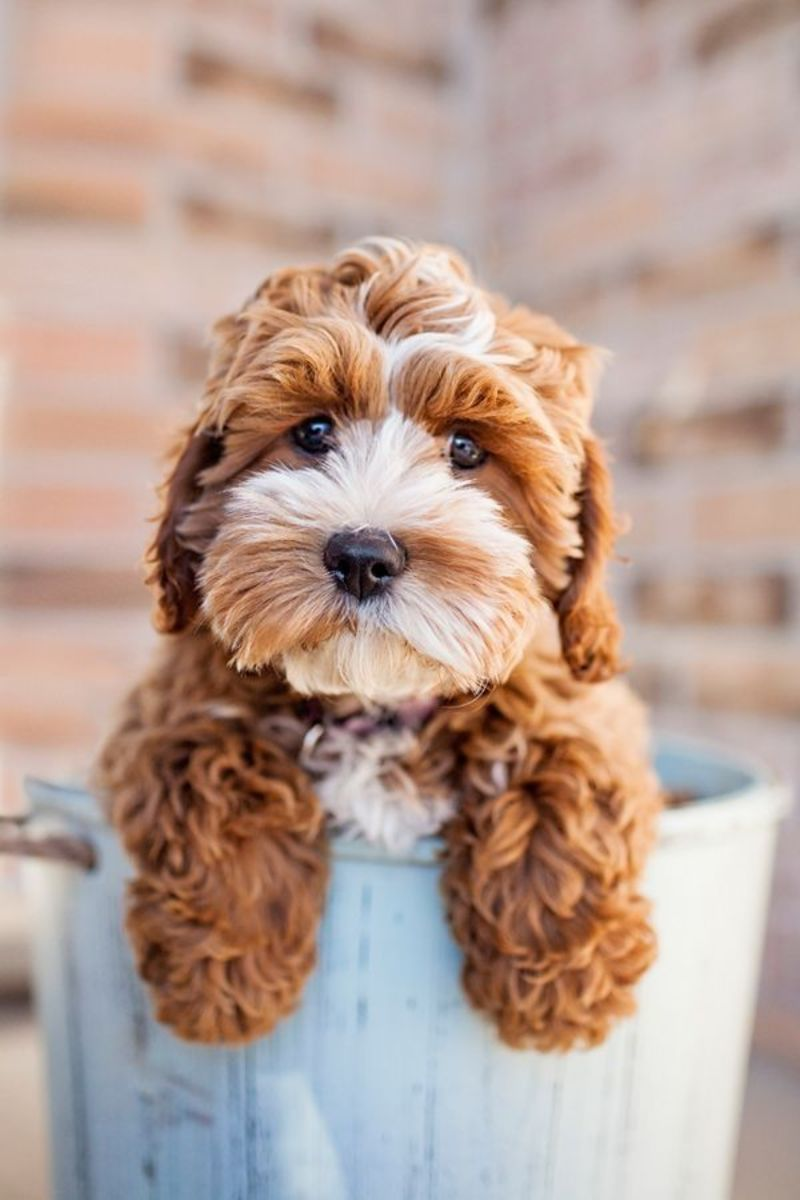 http://indulgy.com/post/7cnJAGGC52/cockapoo-puppy